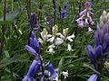 Hyacinthoides ×massartiana, trois couleurs.jpg