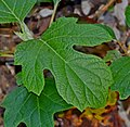 Hydrangea quercifolia 01.jpg