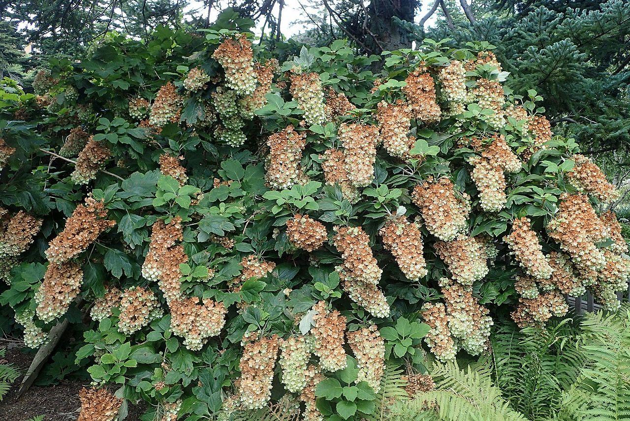 Cultivo de  hortensias - Guía para el cuidado de las hortensias - 2