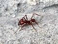 Hymenoptera - Pogonomyrmex barbatus - 1.jpg