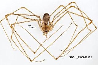 <i>Hypochilus coylei</i> Species of spider