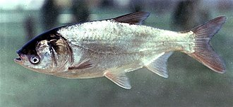 Silver carp - Image: Hypophthalmichthys molitrix Hungary