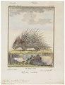 Hystrix cristata - 1700-1880 - Print - Iconographia Zoologica - Special Collections University of Amsterdam - UBA01 IZ20600039.tif