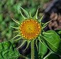 IMG Sonnenblume 8147.jpg