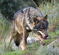 Iberian Wolf AdF 001 (cropped).jpg