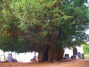 Taxus baccata - Estry Yew, Normandy, around 1,600 years old