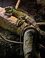 Iguana iguana, Ecuador rainforest (5262933200).jpg