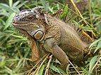 Iguana iguana (male).jpg