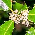 Ilex aquifolium in Aveyron (11).jpg