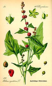 Illustration Blitum capitatum0