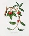 Illustration from Pomona Italiana Giorgio Gallesio by rawpixel00011.jpg
