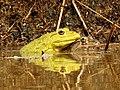 Indian Bullfrog Hoplobatrachus tigerinus mating by Dr. Raju Kasambe DSCN6470 03.jpg
