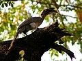 Indian Grey Hornbill Ocyceros birostris 6 by Dr. Raju Kasambe.jpg