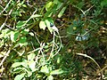Indian Paradise-flycatcher - Terpsihone paradisi - Apr07 346.jpg