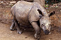Indian Rhino (Rhinoceros unicornis) young orphan reared by the guards ... (20354136570).jpg