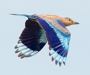 Indian roller - Indian roller in flight