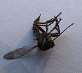 Insekt unbekannt August 2013 -1.JPG
