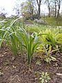 Iris halophila 2017-04-30 9160.jpg