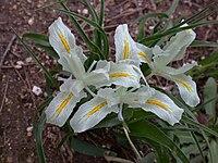 Iris palaestina 2