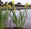 Iris pseudoacorus flowering.jpg