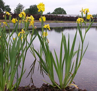 Organisms involved in water purification - A flowering water-purifying plant (Iris pseudacorus)