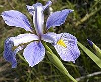 Iris virginica.jpg
