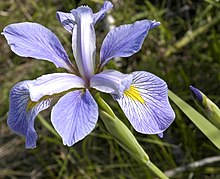 Iris virginica (credit Wikipedia)