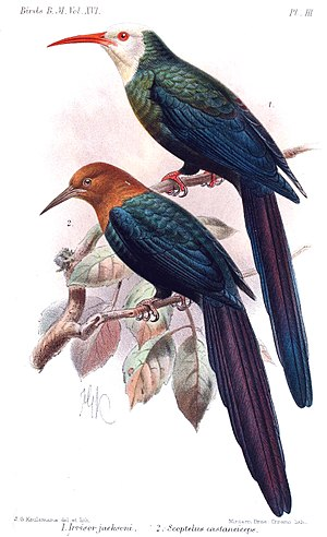 Forest wood hoopoe - Forest wood hoopoe (bottom), illustration by Keulemans, 1892