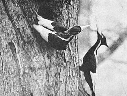 a male ivory billed woodpecker leaving the nest as the female returns this and