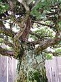 Japanese White Pine, 1625-May 29, 2011 detailB - Stierch.jpg