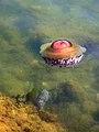 Jellyfish with a brain... ? (2829823809).jpg