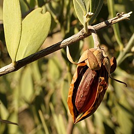 Jojoba_Nut_-_Flickr_-_treegrow_(1).jpg}}