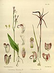 Joseph Dalton Hooker - Flora Antarctica - vol. 3 pt. 2 plate 121 (1860).jpg