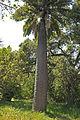 Jubaea Chilensis in California by Dan Lindsay.jpg