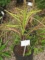 Jubaea chilensis - NBGB - IMG 4481.JPG