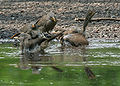 Jungle Babbler (Turdoides striatus) bathing in Kolkata I IMG 7509.jpg
