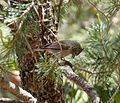 Juniper Titmouse. Baeolophus ridgwayi - Flickr - gailhampshire.jpg