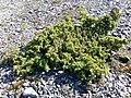 Juniperus communis alpina.jpg
