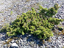 Skyrocket Juniper Is The Bark Poisonous To Dogs