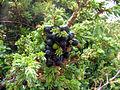 Juniperus kleka.jpg