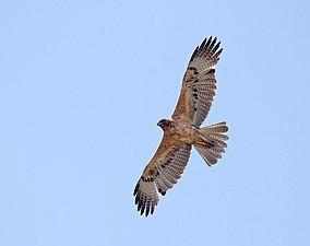 Juvenile Bonelli's eagle.jpg