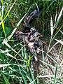 Juvenile Rohrweien am Nest.jpg