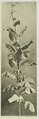 KITLV - 26869 - Kleingrothe, C.J. - Medan - Tobacco plant, Deli - circa 1905.tif