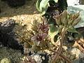 Kalanchoe beharensis1.jpg