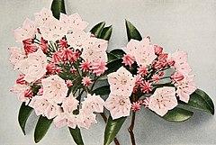 Kalmia latifolia - WFNY-156A.jpg