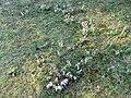 Kamenný vrch, kvetoucí koniklece.jpg
