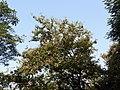 Kanchan tree Bauhinia variegata by Dr. Raju Kasambe DSCN0979 (7).jpg