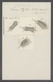 Kerona mytilus - - Print - Iconographia Zoologica - Special Collections University of Amsterdam - UBAINV0274 113 18 0004.tif