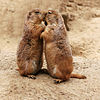 Kissing Prairie dog edit 31.jpg