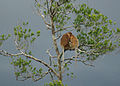 Klias Wetlands Proboscis Monkey 01.jpg
